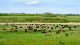 吃草母牛牧群  免版税图库摄影