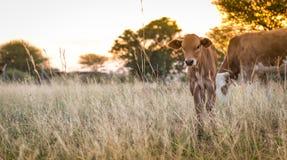 吃草母牛的小牛 免版税图库摄影
