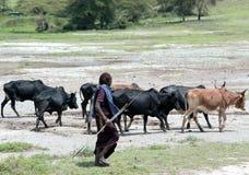 吃草母牛的牧群在Ngorongoro火山口的马赛马拉 免版税库存图片