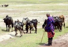 吃草母牛的牧群在Ngorongoro火山口的马赛马拉 免版税库存照片