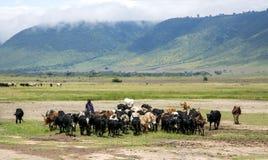 吃草母牛的牧群在Ngorongoro火山口的马赛马拉 库存图片