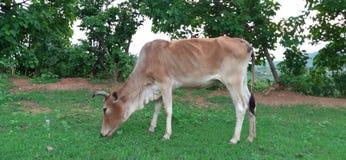 吃草母牛的草 库存图片