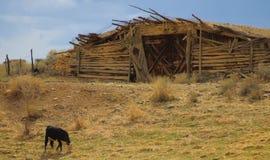 吃草母牛的葱地窖 免版税库存图片