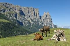 吃草母牛, Seiser Alm 图库摄影