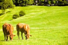 吃草母牛 免版税库存照片