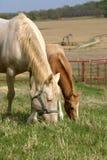 吃草母马的驹 免版税库存图片
