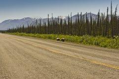 吃草沿阿拉斯加高速公路的北美灰熊 免版税图库摄影