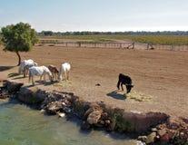 吃草法国Camargue的马和的公牛 免版税库存图片