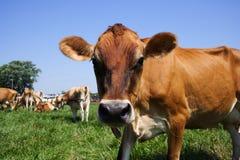 吃草泽西的母牛 免版税库存图片