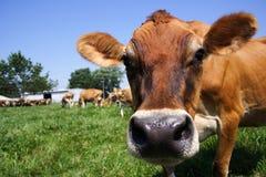 吃草泽西的母牛 免版税图库摄影