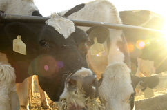 吃草泽西的母牛 图库摄影
