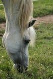 吃草灰色公马的阿拉伯人 免版税库存图片