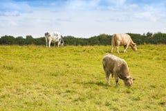 吃草爱尔兰的母牛-与拷贝空间的图象 库存图片