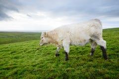 吃草爱尔兰的母牛 免版税库存图片