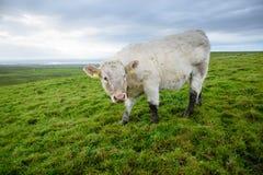 吃草爱尔兰的母牛 免版税库存照片