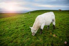 吃草爱尔兰的母牛 免版税图库摄影