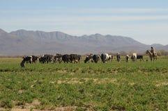 吃草牛仔的母牛 库存图片