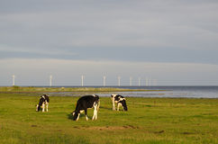 吃草牛和风轮机 图库摄影