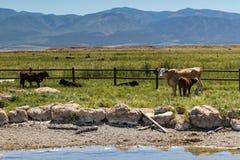 吃草牛在水坑旁边的犹他 免版税库存照片