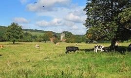 吃草牛在英国草甸 库存图片