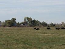 吃草牛的域 库存照片