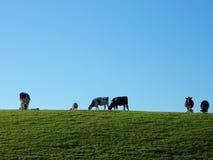 吃草牛的)弗里斯兰奶牛 库存照片