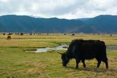 吃草牦牛 免版税库存图片