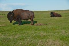 吃草牧场地二的水牛 免版税库存图片
