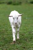 吃草牧场地夏令时的白色本国山羊 免版税库存照片