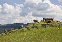 吃草牧场地的母牛 库存图片