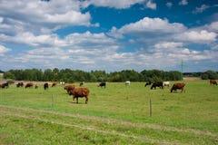 吃草牧场地的母牛 库存照片