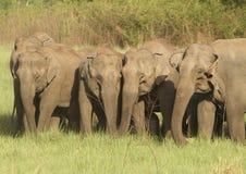 吃草牧群的大象 免版税库存照片