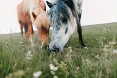 吃草特写镜头观点的美丽的冰岛的马 图库摄影
