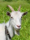 吃草特写镜头的白色山羊 图库摄影