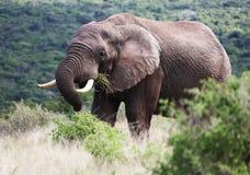 吃草狂放的非洲人的雄象 免版税库存图片