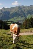 吃草瑞士的母牛 库存照片