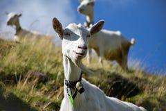 吃草用在小山,它的挥动在的山羊胡子的一个滑稽的方式的山羊 图库摄影