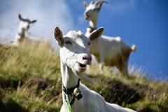 吃草用在小山,它的挥动在的山羊胡子的一个滑稽的方式的山羊 免版税库存照片