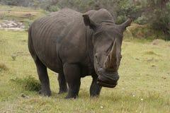 吃草男性rinoceros 免版税图库摄影