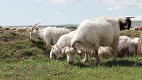 吃草白色无教养的绵羊牧群在乔治亚 注视,走和基于一个绿色牧场地的一个小组绵羊 股票录像