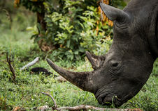 吃草白色犀牛在克留格尔国家公园,南非 图库摄影
