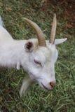 吃草白色的公山羊垂直的顶头射击  免版税库存图片