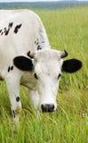吃草白色的母牛 免版税图库摄影