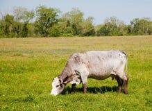 吃草白色的母牛 库存照片