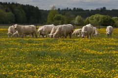 吃草白色的母牛 库存图片