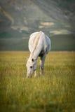 吃草白马在重创的钢琴,翁布里亚,意大利 库存照片
