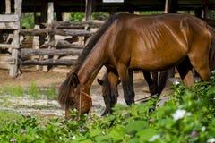吃草的ฺBrown马 免版税库存图片