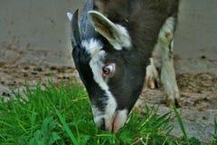 吃草的一只黑白孩子山羊 库存图片