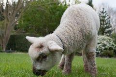 吃草的一手养大的羊羔在公园 免版税图库摄影