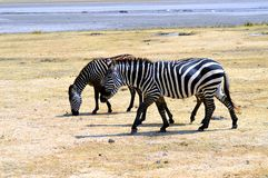 吃草的两匹斑马 免版税库存图片